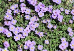Aubrieta intermedia